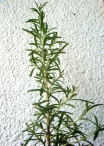 rosmarinus