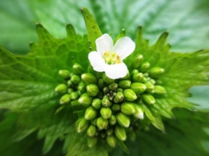 Garlic mustard flower