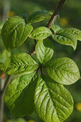 270px-Eleutherococcus_senticosus_leaves