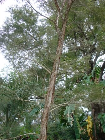 T Tree web