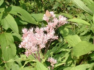 1. Spotted-joe-pye-weed, Aug.24 03