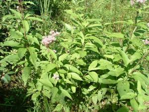 1. Spotted-joe-pye-weed, August 24 03
