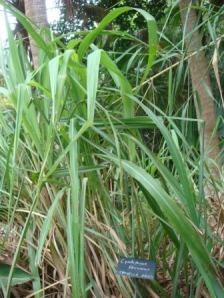 Citronella grass