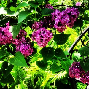 Different Types Of Lilac Bushes Earth Elixir