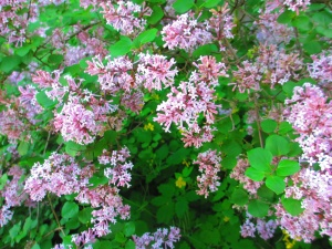 This lilac bush blooms later and has smaller flowers, but it has a larger fragrance.